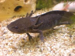 Axolotl natur