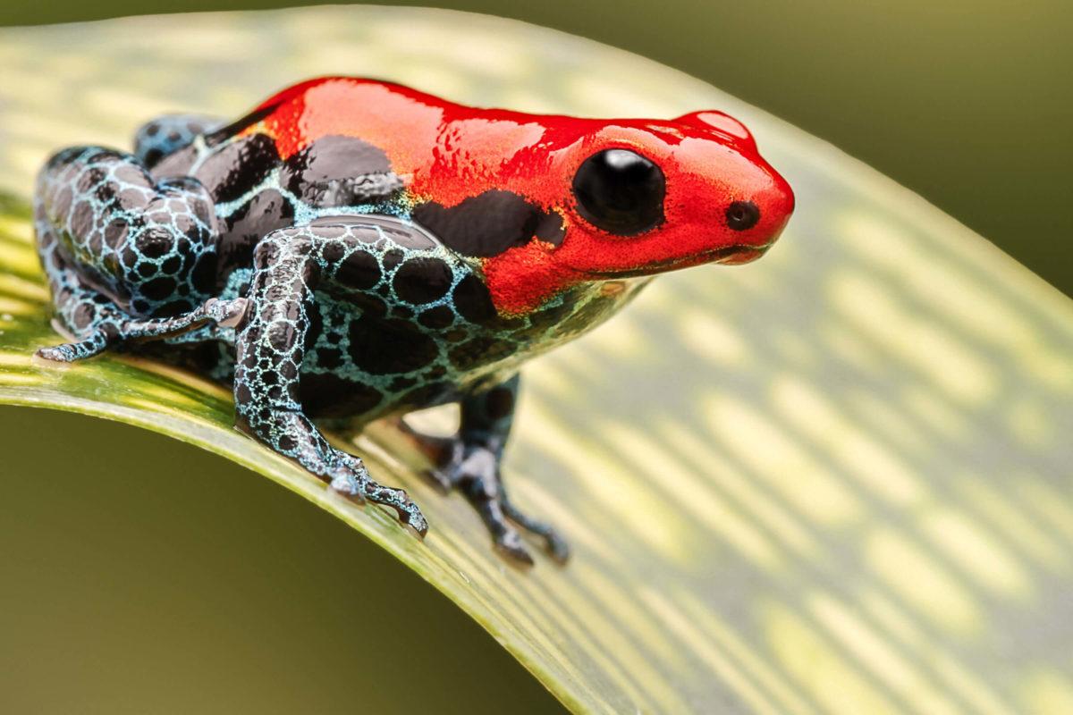 Roter Pfeilgiftfrosch