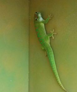 Madagaska-Taggecko